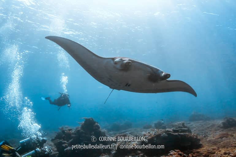 A manta ray evolves peacefully in the current, indifferent to our bubbles. (Gili Banta, West Komodo, Indonesia, July 2018)