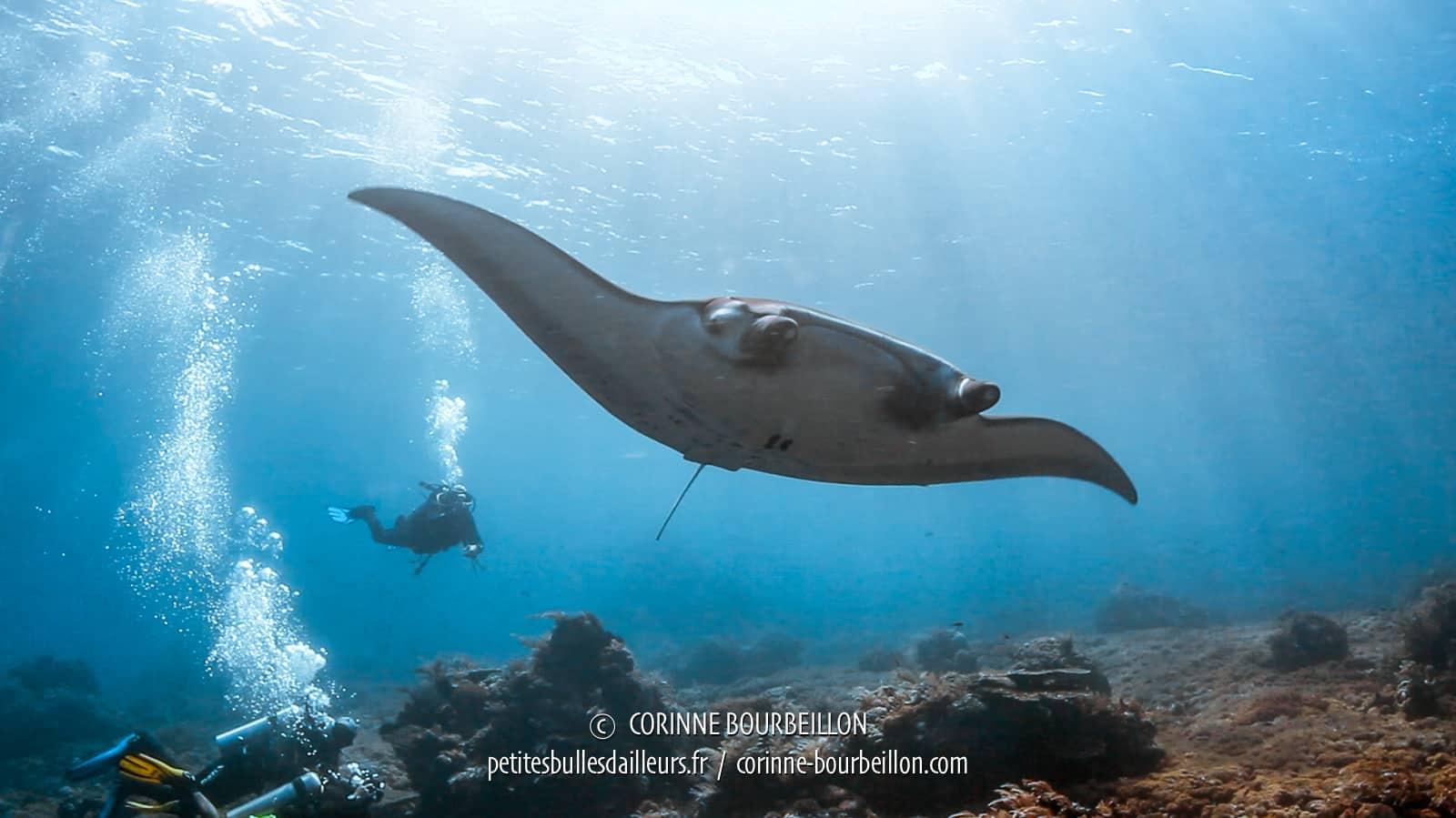 Une raie manta évolue paisiblement dans le courant, indifférente à nos bulles. (Gili Banta, Komodo Ouest, Indonésie, juillet 2018)