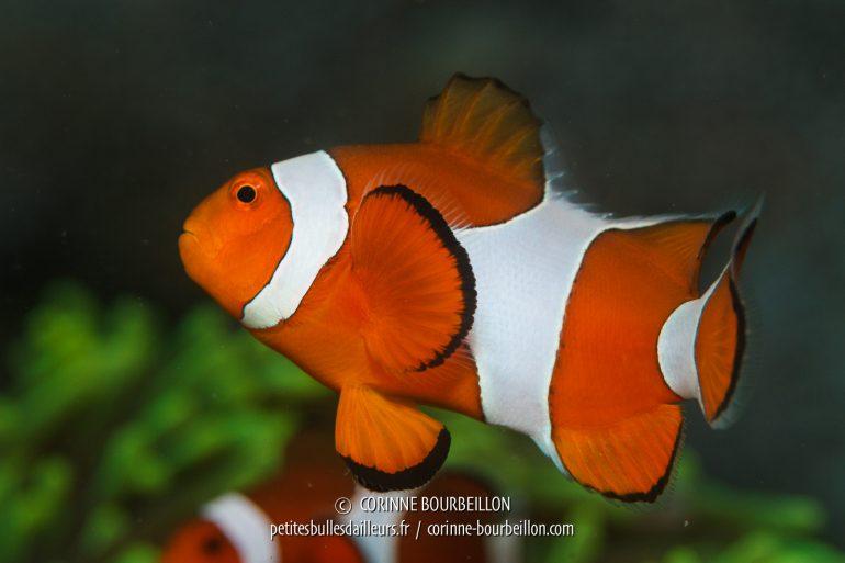 Un poisson-clown, cousin du célèbre Nemo. (Kalimaya House Reef, Sumbawa, Indonésie, juillet 2018)