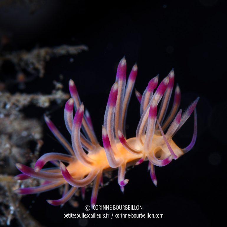 Nudibranch. (Bontoh, Sangeang, Indonesia, July 2018)