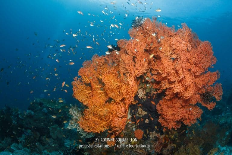 Another beautiful bright orange gorgon and its cloud of anthias. (Sali Kecil, Halmahera, Indonesia, July 2018)