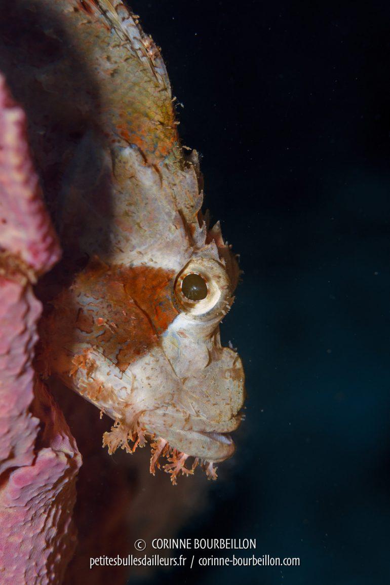 """Un poisson-scorpion, """"classique"""" dans les eaux de l'Indo-Pacifique, me présente son meilleur profil. (Kalimaya House Reef, Sumbawa, Indonésie, juillet 2018)"""