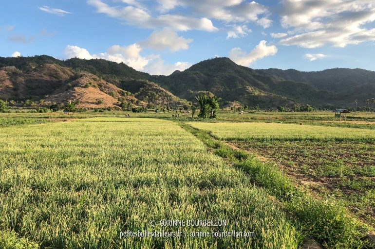 Landscape of rice fields, in the east of Sumbawa, not far from Sape. (Indonesia, July 2018)