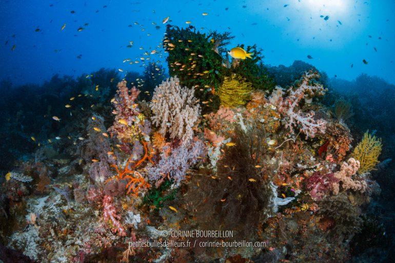 Enchevêtrement de coraux, sur le sommet du récif. (Cabilao, Philippines, février 2019)