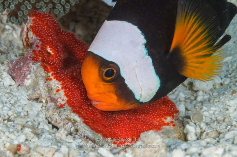 """An anemonefish monitors its eggs, which it regularly """"aerates"""" with its fins. (Philippines, Cabilao, February 2018)"""