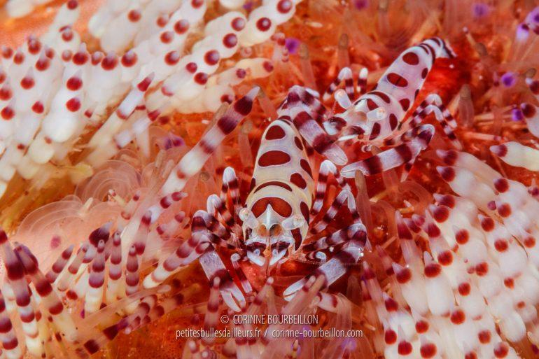 Les très recherchées crevettes de Coleman (Periclimenes colemani), espèce nommée ainsi en l'honneur du naturaliste australien Neville Coleman (1938-2012). On les trouve en couple, vivant en symbiose avec le redoutable oursin de feu qui les protège de ses piquants urticants. (Cabilao, Philippines, février 2019)