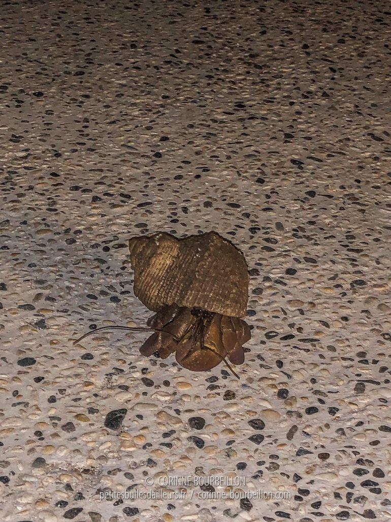 In the evening, the hermit crabs are out and about. (Cabilao, Philippines, February 2019)