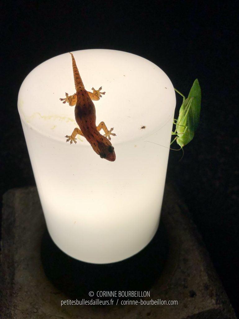 Ce gecko a les yeux plus gros que le ventre... (Cabilao, Philippines, février 2019)