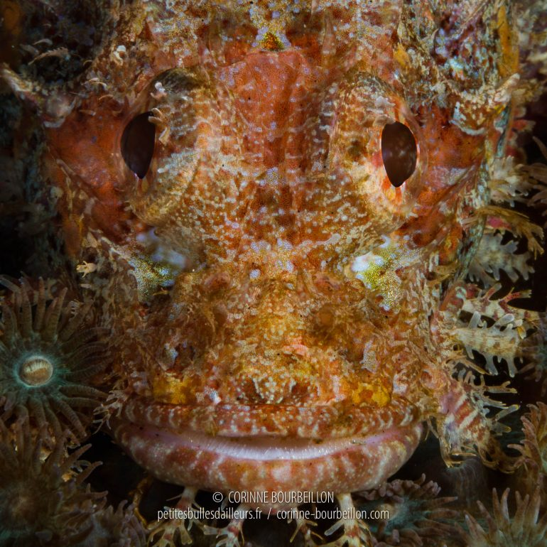A scorpion fish lets itself be drawn close-up portrait. (Cabilao, Philippines, February 2019)