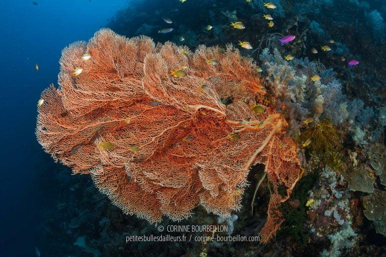 Une imposante gorgone orange vif étend ses ramifications dans le courant. (Cabilao, Philippines, février 2019)