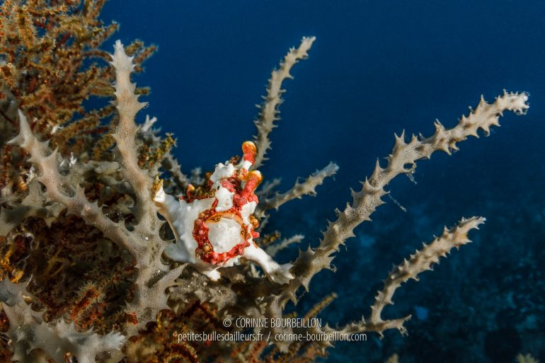 A small clown frogfish watches the divers go by. (Balicasag, Philippines, March 2019)