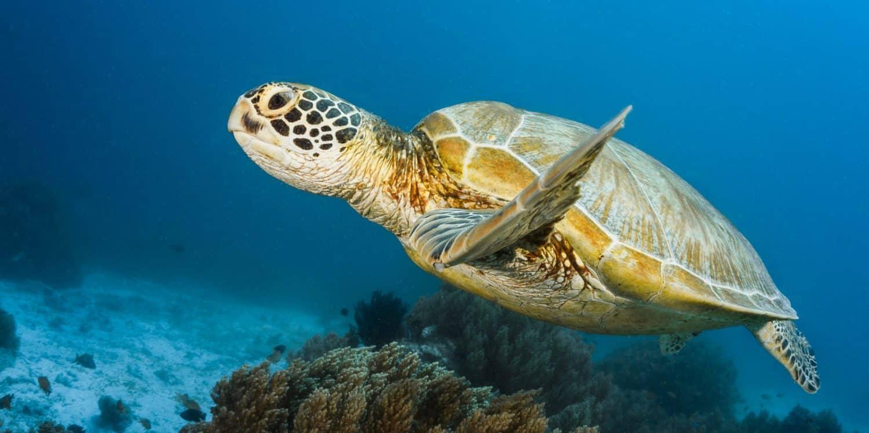 On croise assez souvent des tortues, le long du récif. (Balicasag, Philippines, mars 2019)