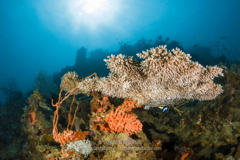Coral has started to develop again on the now protected Pangatalan reef. (Philippines, February 2018)