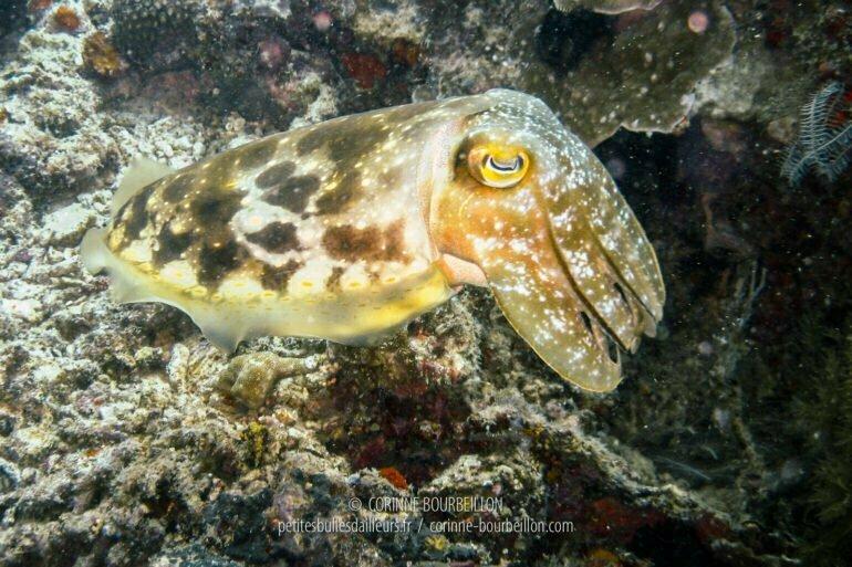 A small cuttlefish in Mantabuan. (Borneo, Malaysia, July 2006)