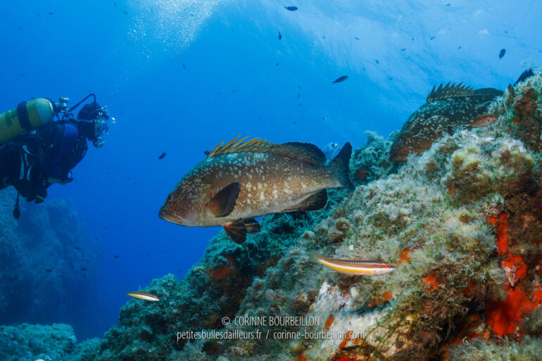 Two big sleeping groupers take off from their rock when they see the divers coming... Port-Cros, Hyères, France, July 2014)