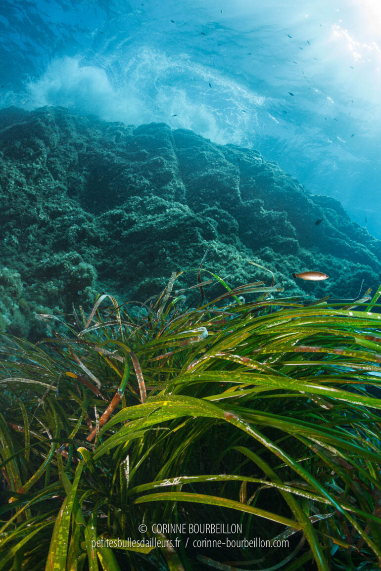At the foot of the drop, posidonia swells under the swell. (Port-Cros, Hyères, France, July 2014)