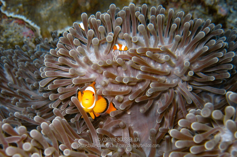 Clown fish. (Similan Islands, Thailand, February 2009)