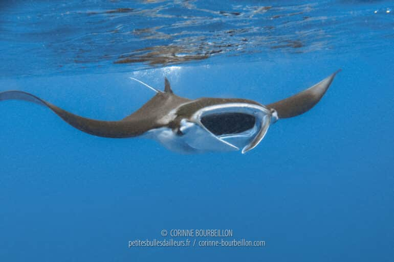 To see the manta rays evolve, from close up, it's an extraordinary spectacle... (Sangalaki, Borneo, Indonesia, July 2009)