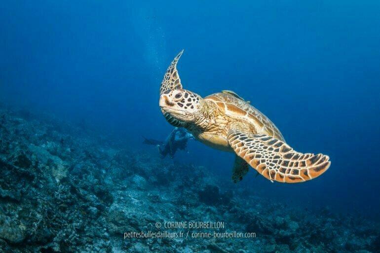Une tortue croisée à Maratua. (Bornéo, Indonésie, juillet 2013)