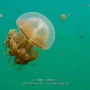 Plus on avance vers le centre du lac plus les méduses sont nombreuses. (Kakaban, Bornéo, Indonésie, juillet 2013)