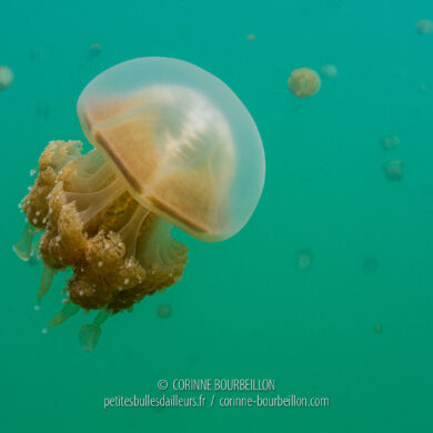 The further you go towards the centre of the lake, the more jellyfish there are. (Kakaban, Borneo, Indonesia, July 2013)