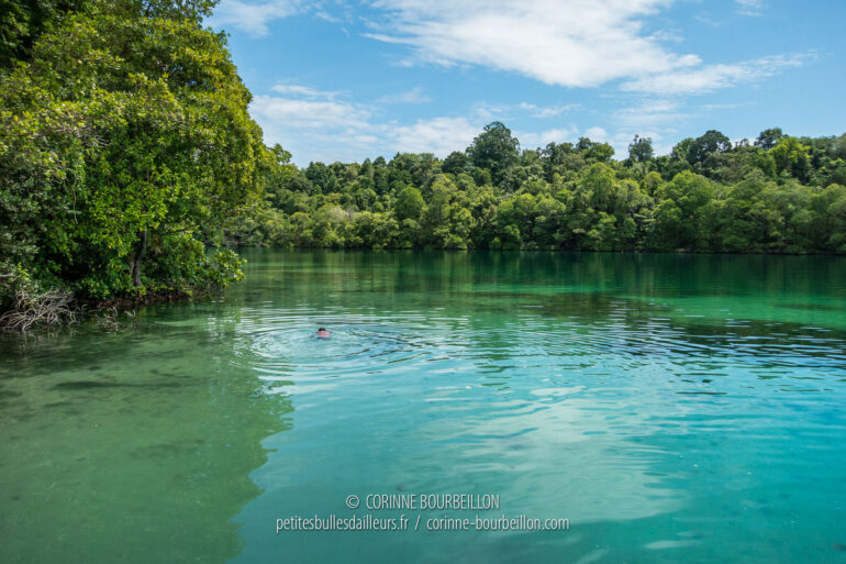 A crown of mangroves surrounds the jellyfish lake. (Kakaban, Borneo, Indonesia, July 2013)