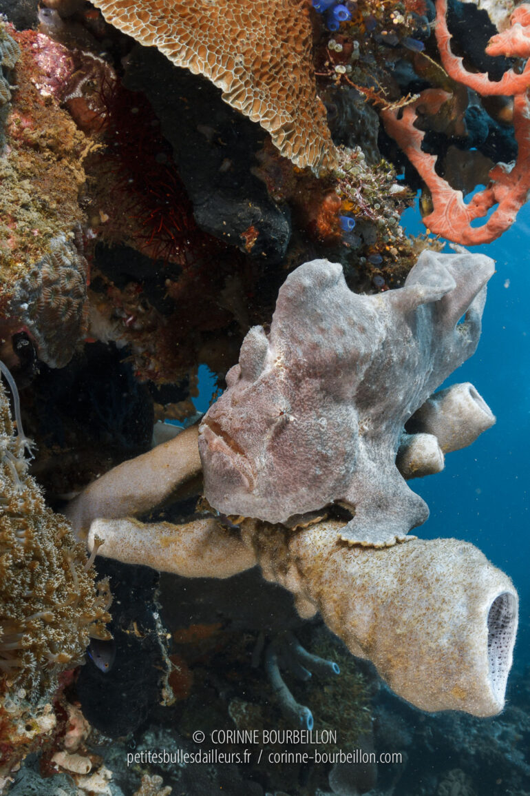 A large grey antennal, nicknamed frog fish, watches for its prey, perched on a tubular sponge. (Sogod Bay, Leyte, Philippines, March 2020)