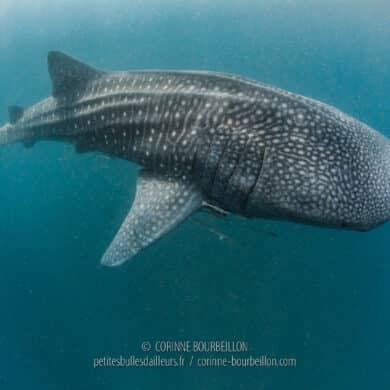 Dans l'eau chargée de plancton, un requin-baleine surgit... (Sogod Bay, Leyte, Philippines, mars 2020)