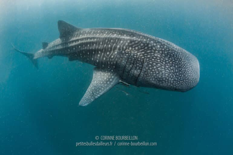 In the plankton-laden water, a whale shark emerges... (Sogod Bay, Leyte, Philippines, March 2020)