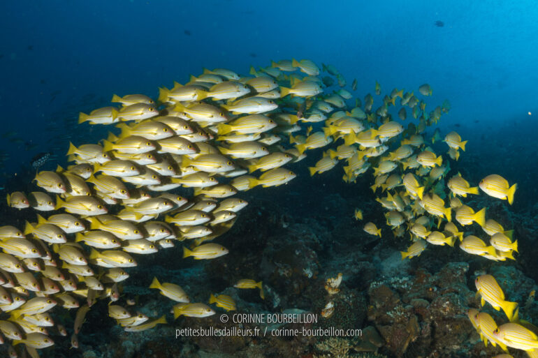 A school of yellowtail snappers flees as I approach. (Raja Ampat, West Papua, Indonesia, March 2012)