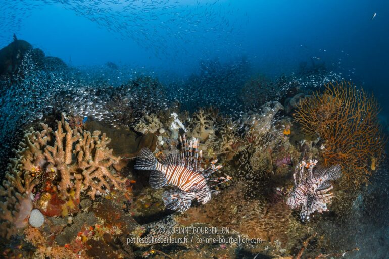 Red Lionfish and schools of glass fish above the coral reef. (Raja Ampat, West Papua, Indonesia, March 2012)
