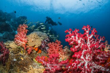 """Beautiful """"soft corals"""" or alcyonarias color the top of Mioskon Reef. (Raja Ampat, West Papua, Indonesia, March 2012)"""