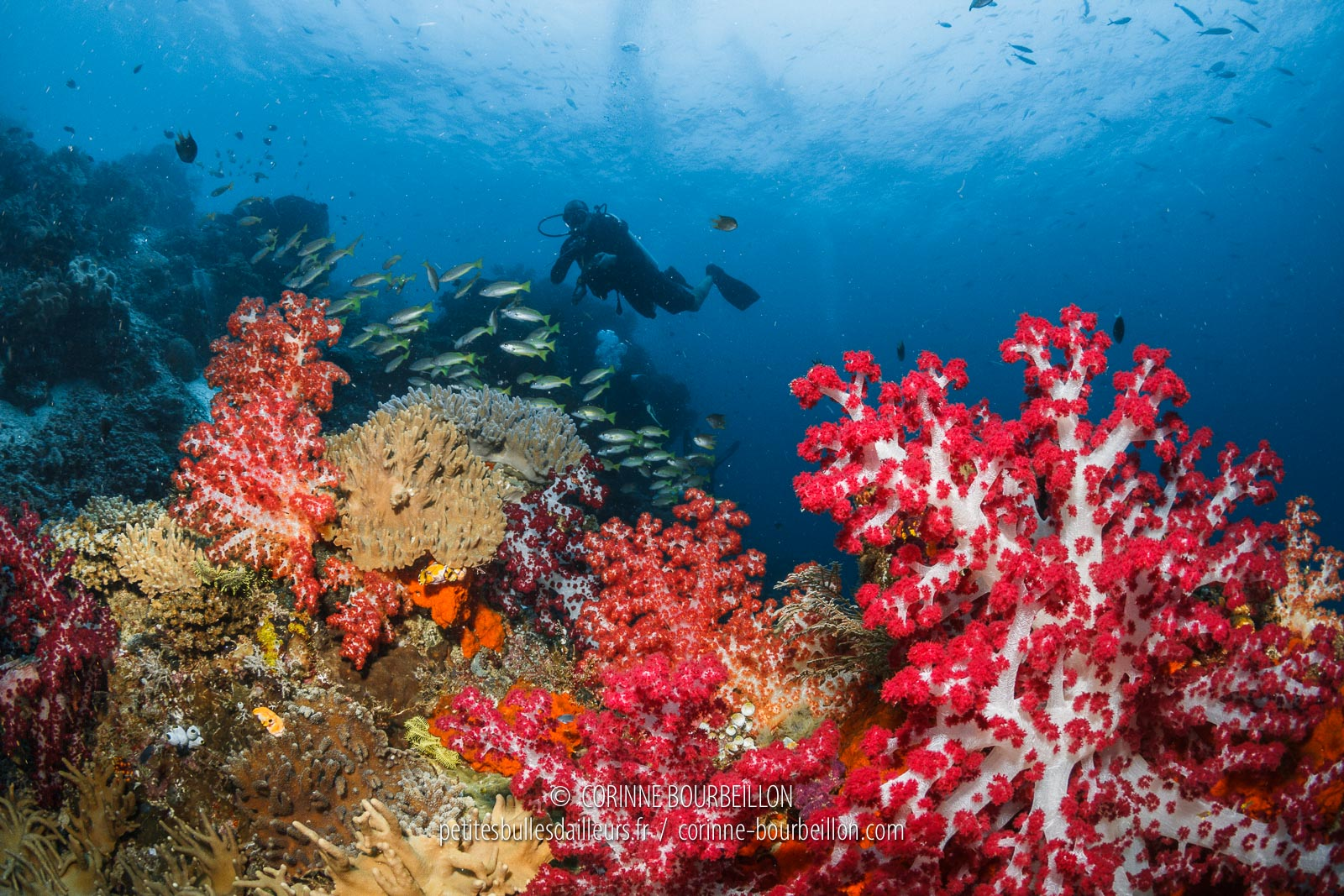 "Beautiful ""soft corals"" or alcyonarias color the top of Mioskon Reef. (Raja Ampat, West Papua, Indonesia, March 2012)"