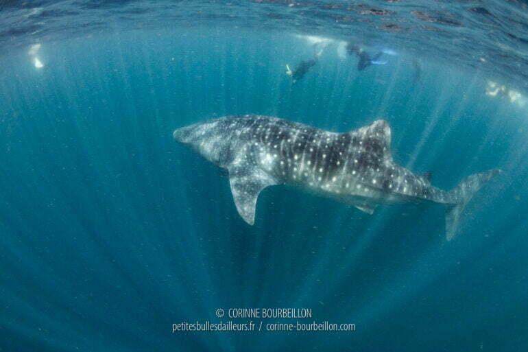 Dans l'eau chargée en plancton, les snorkelers (nageurs avec palmes-masque-tuba) découvrent les impressionnants requins-baleines. (Sogod Bay, Leyte, Philippines, mars 2020)