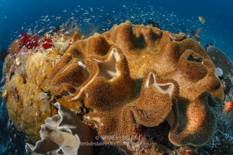 "A huge ""soft coral"" called an alcyonary-mushroom, belonging to the genus Sarcophyton. (Raja Ampat, West Papua, Indonesia, March 2012)"