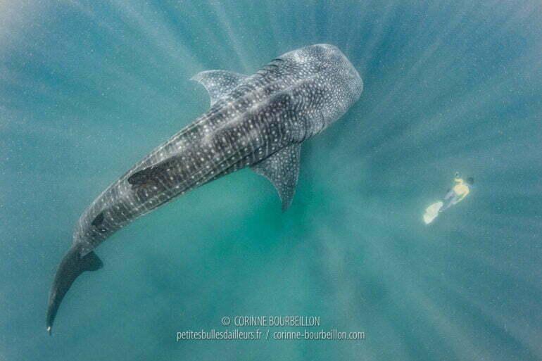 Les requins-baleines nagent paisiblement à quelques mètres sous la surface, indifférents aux humains palmés venus les admirer. (Sogod Bay, Leyte, Philippines, mars 2020)