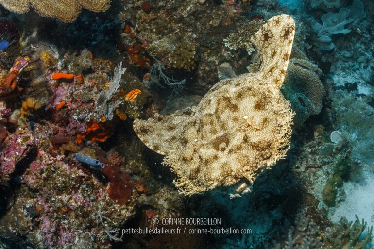 "A wobbegong (bearded carpet shark) ""takes off"" from the reef right in front of me. (Mioskon, Raja Ampat, Indonesia, July 2012)"